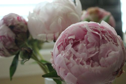 Peonies day 1 7