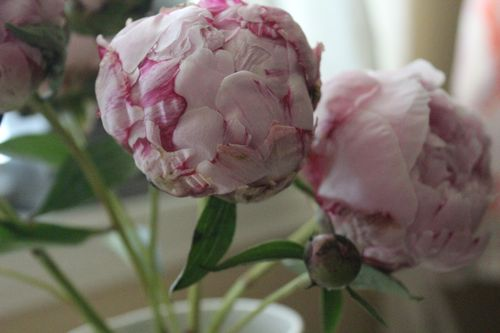 Peonies day 1 2